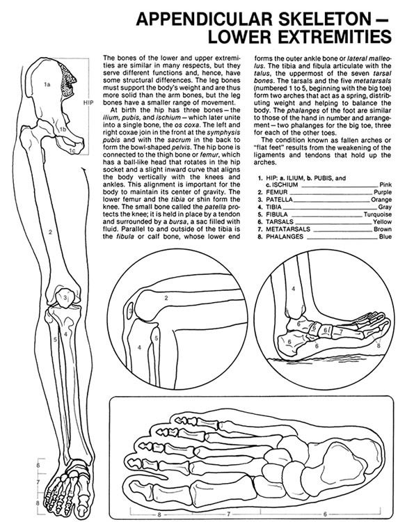 Dover Teacher\'s Sampler - Human Anatomy Coloring Book ...