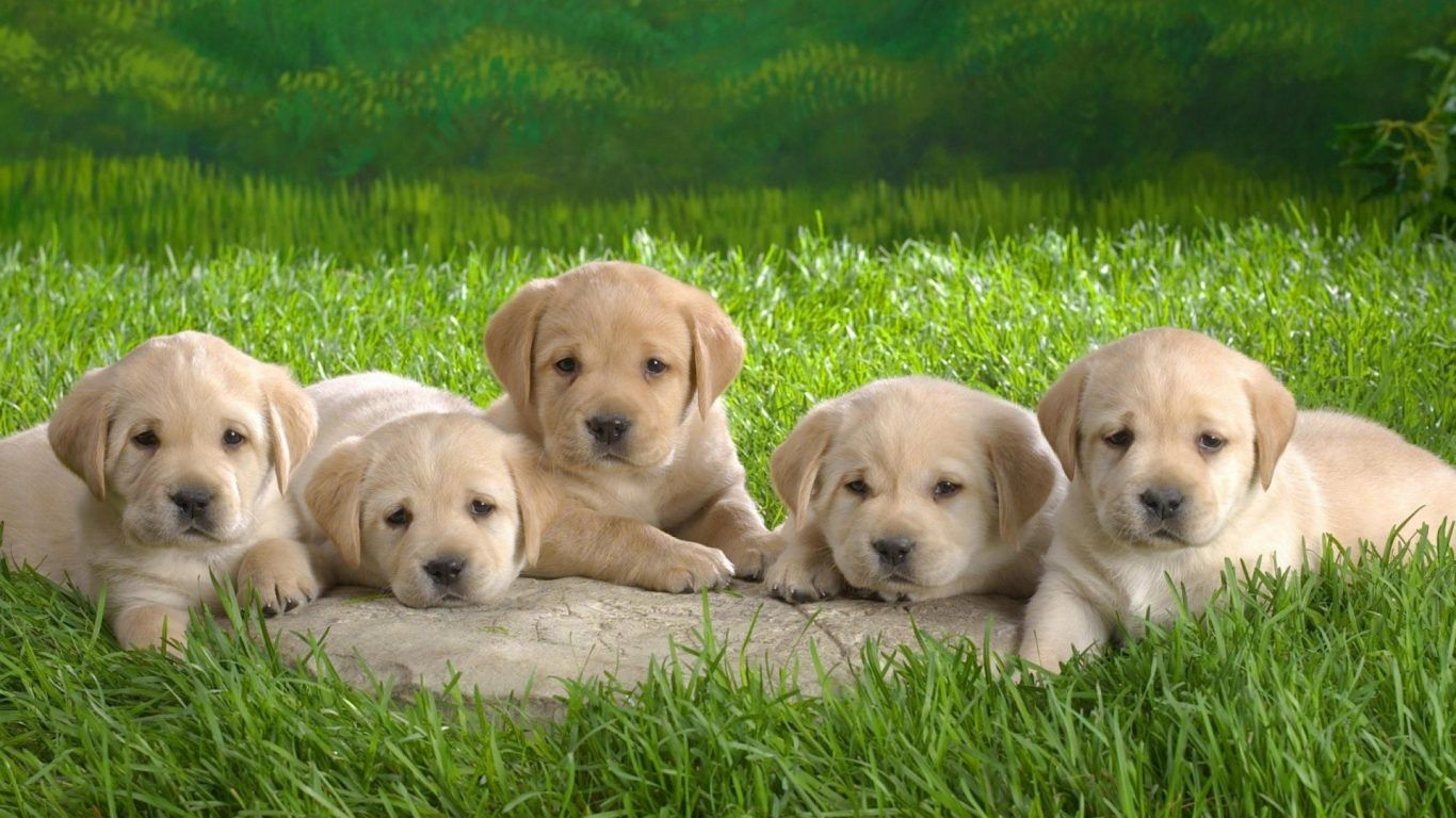 Nature Green Puppy Grass Cute Dogs Adorable Animals Boxer Dog Background Puppies Labrador Retriever Puppies Cute Puppy Wallpaper