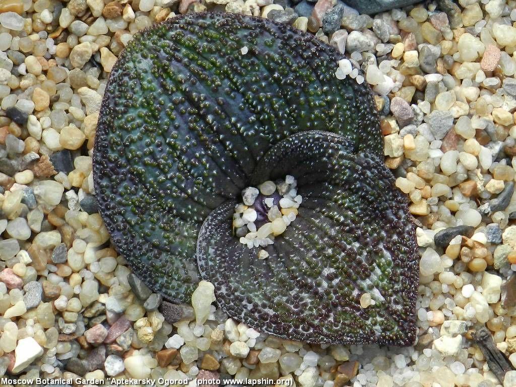 Brunsvigia namaquana