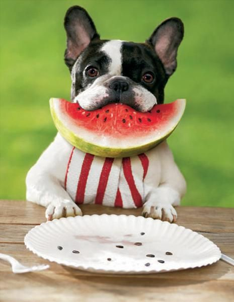 French Bulldog With A Mouthful Of Watermelon Dogs Pets