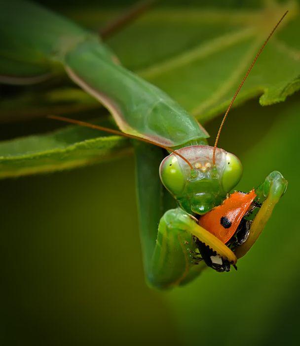 Praying Mantis Eating A Cute Ladybug Cruel But That S Nature Macro Photography Amazing Macro Photography Photography