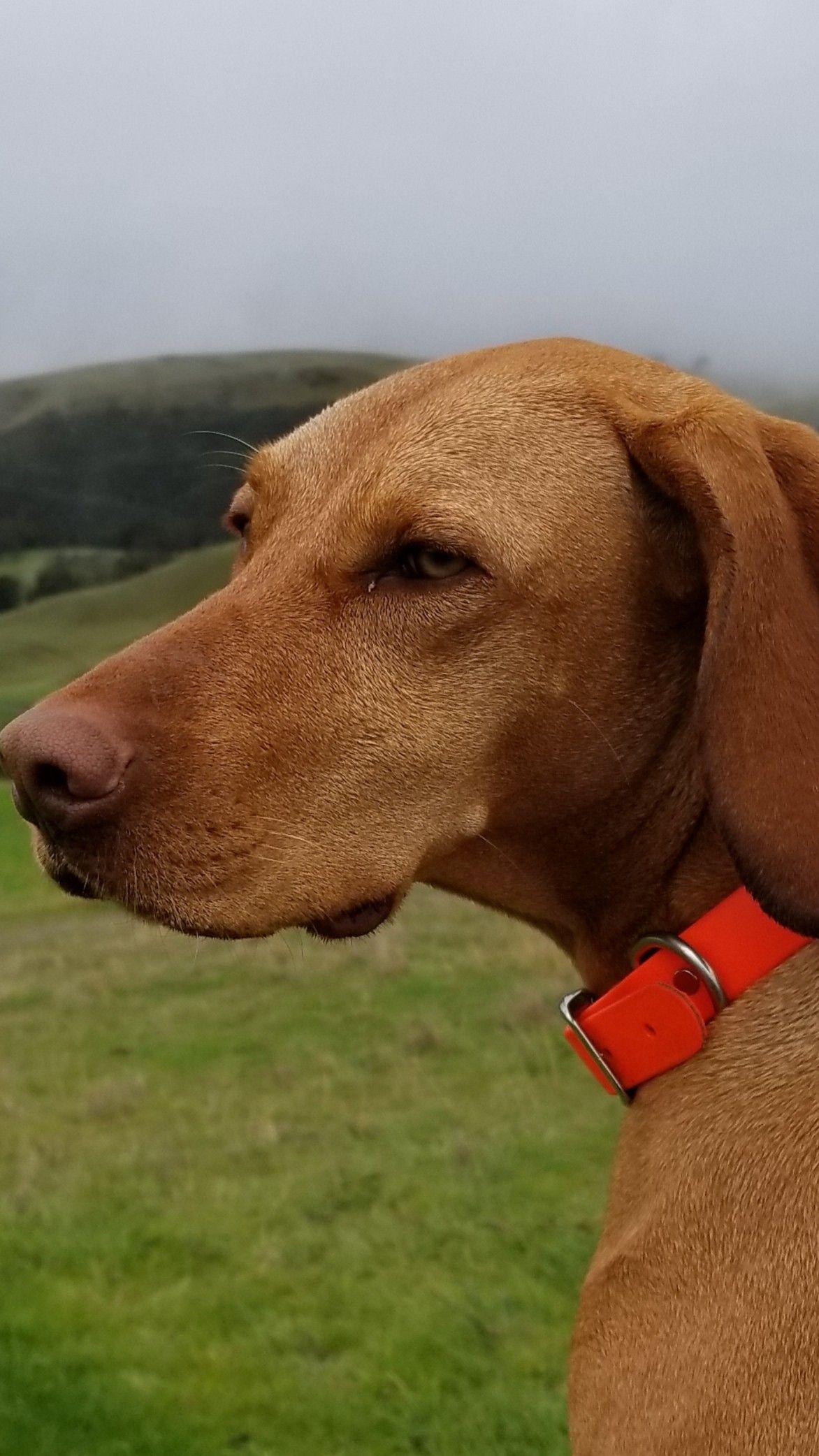 Sunol Hike With Vizsla Vizsla Doggy Animals