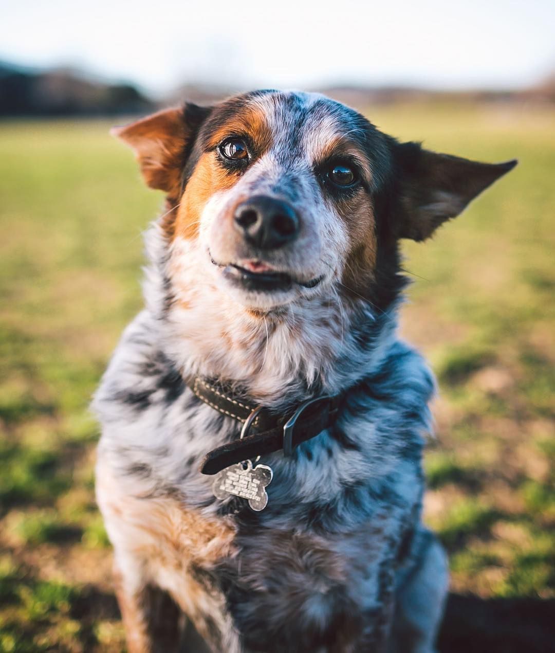 Sookie The 6yr Old Cowboy Corgi Blue Heeler Corgi Mix Probably The Greatest Mix Of All Time Zilkerbark By Zilkerbark Cowboy Corgi Corgi Mix Blue Heeler