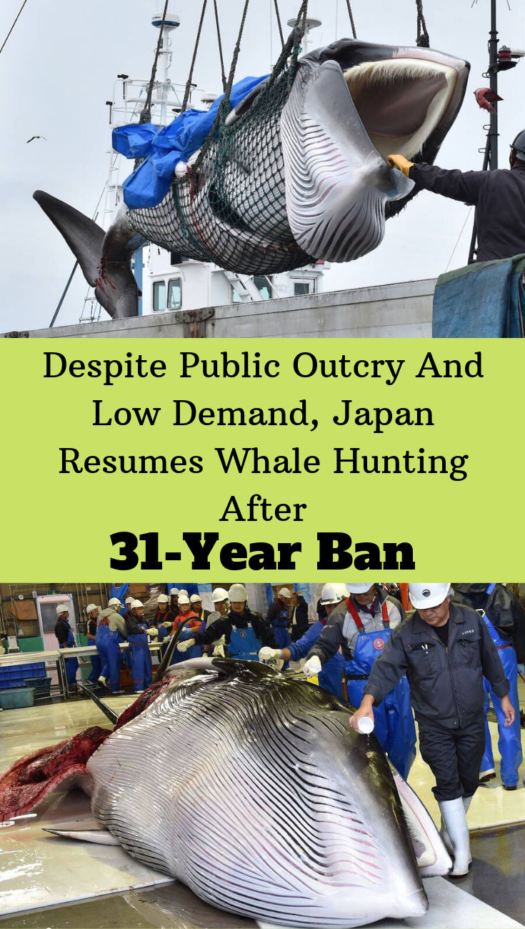 Japan Resumes Commercial Whale Hunting After Breaking A 31 Year