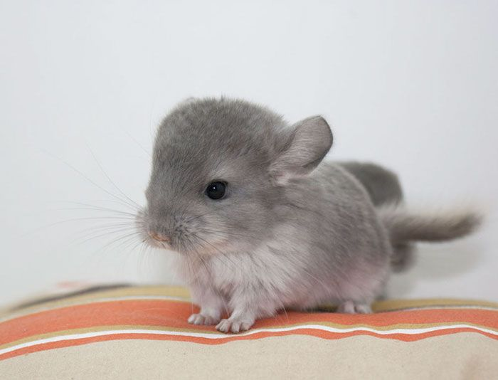10+ Baby Chinchillas That Will Melt Your Heart ADORABLE