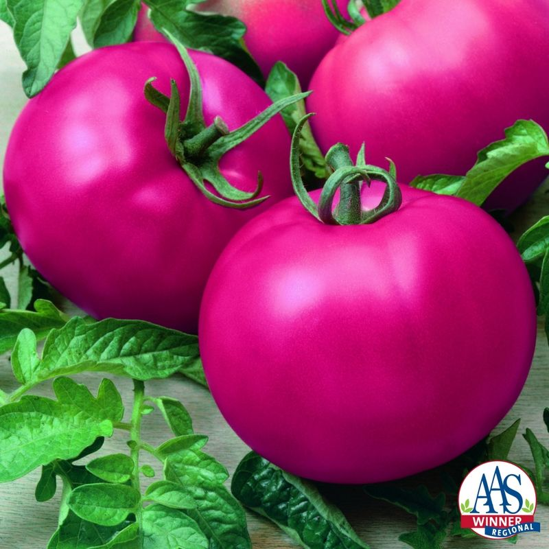 tomato chefs choice pink f1 2015 aas vegetable award winner very large yields of 12 - Large Garden 2015
