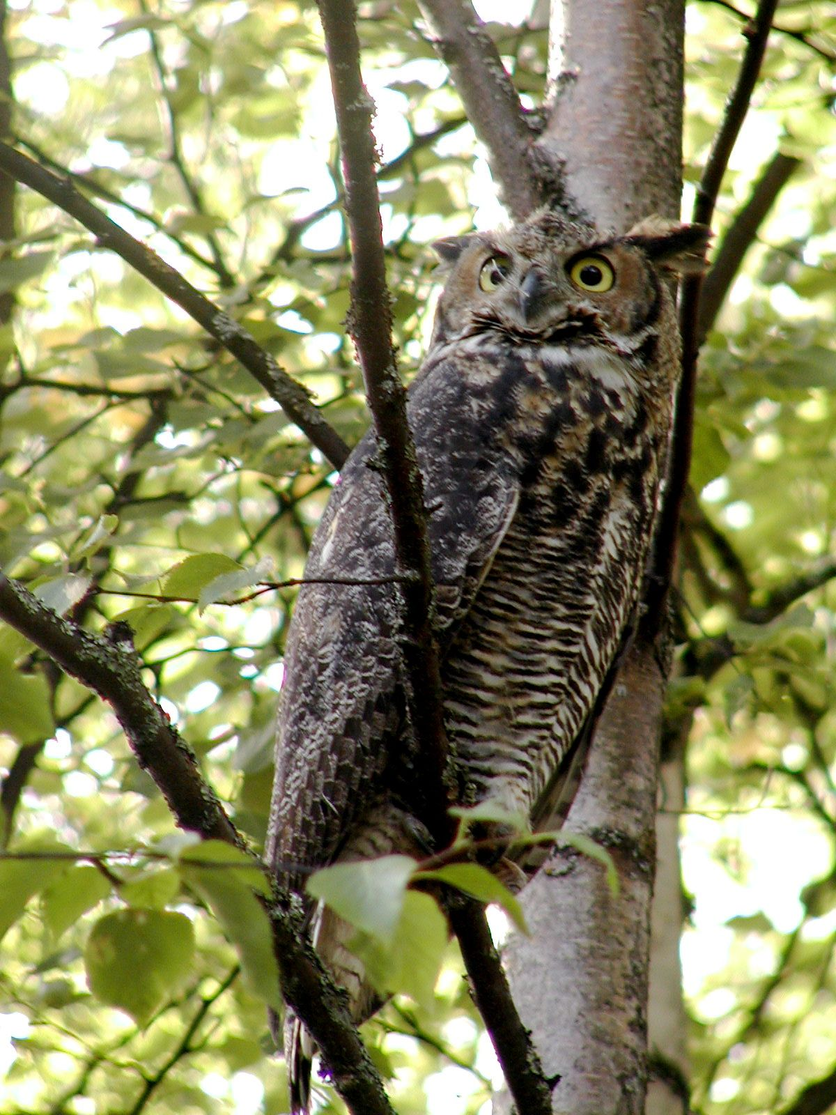One of our many resident owls. Owl, Animals, Alaska