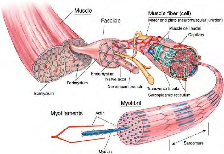 Anatomy of the muscle. | Knowledge - Connaissance/Savoir - Ismeret ...