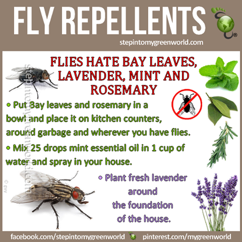 Natural Fly Repellent Recipe - Flies don't like Bay leaves