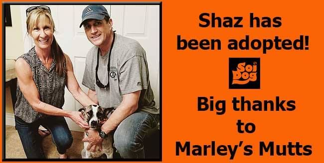 Shaz has been adopted!  Thanks to our partnership with Marley's Mutts, Shaz rescued from the illegal Dog Meat Trade has been adopted to the Denman family and will be the newest Mutt to plant her feet in Tehachapi, USA permanently.  The Denman family are just perfect for her and have another four legged family member to keep her company as well. http://www.soidog.org/en/adoptions/dog-meat-trade-dogs-for-adoption/