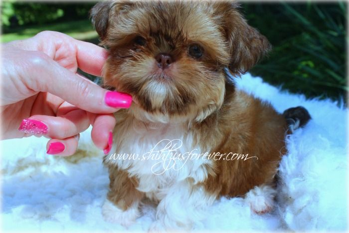 Imperial Shih Tzu Female Available At Http Www Shihtzusforever
