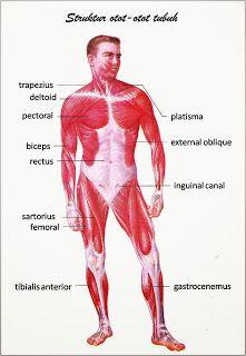 Otot Lurik - Cara Kerja Bentuk Beserta Gambarnya