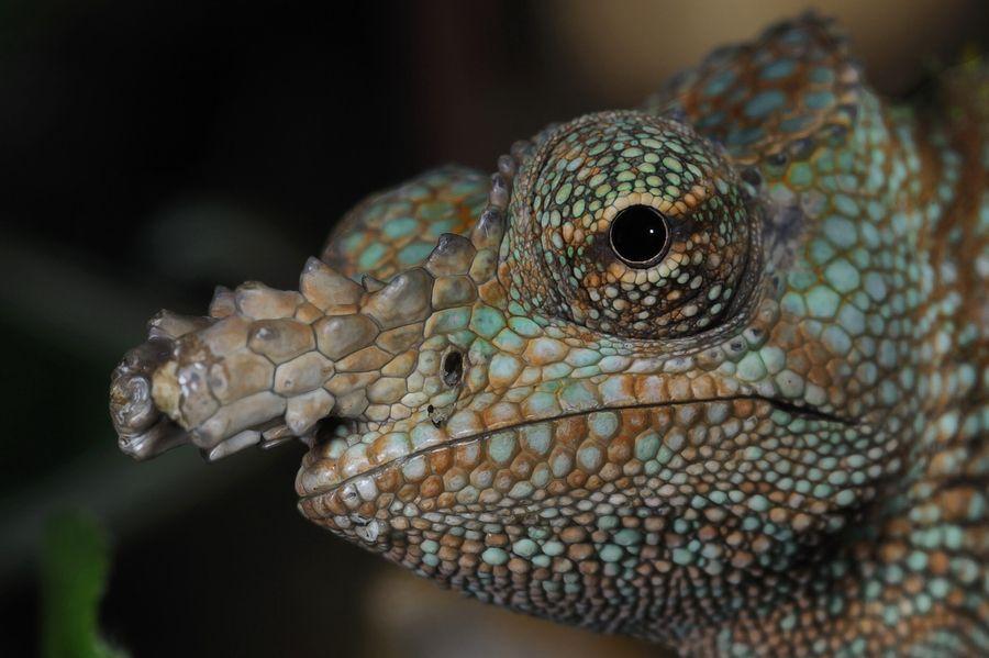 Dwarf Fischer S Chameleon By Josef Gelernter Via 500px