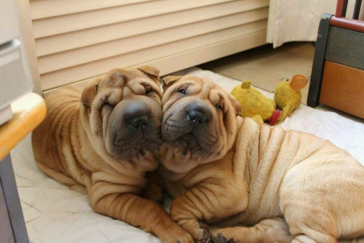 List Of The Oldest Dog Breed In The World Complete Shar Pei