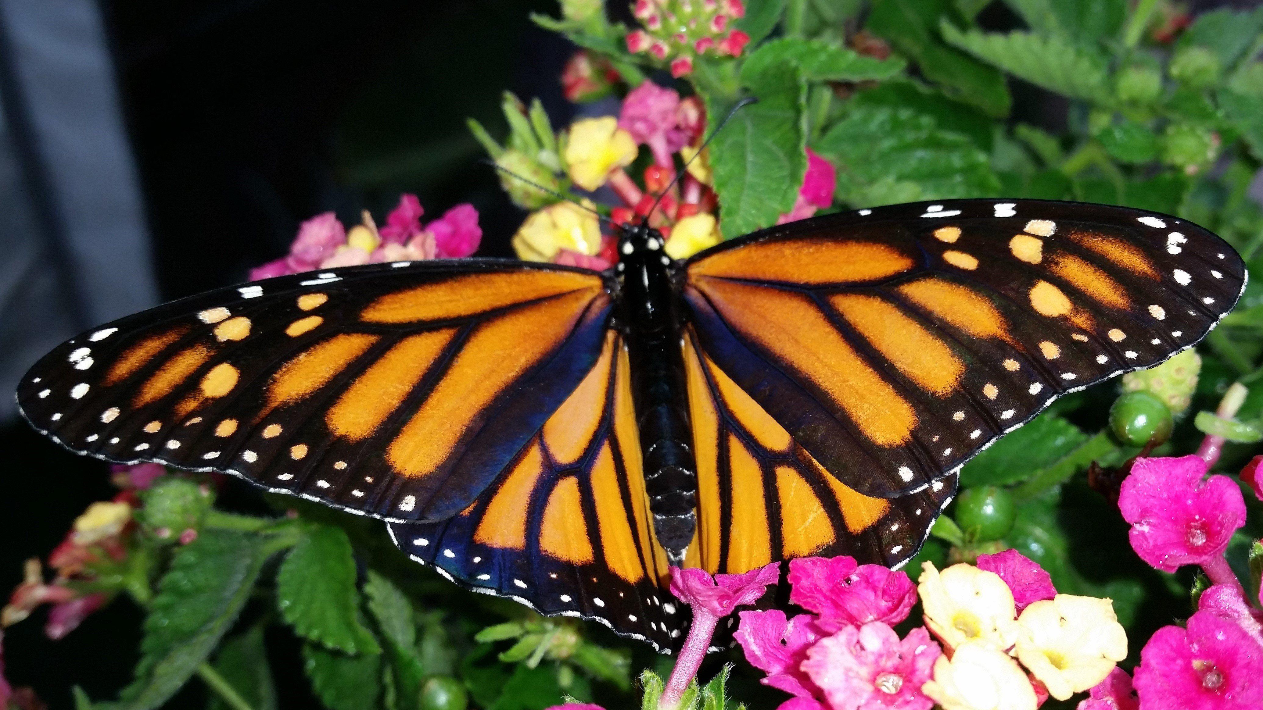 One Dozen Live Monarch Butterflies Monarch butterfly