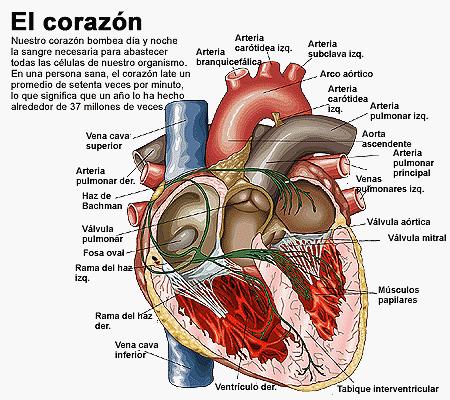 LAS VALVULAS DEL CORAZON6 | corazon humano | Pinterest | Corazón ...