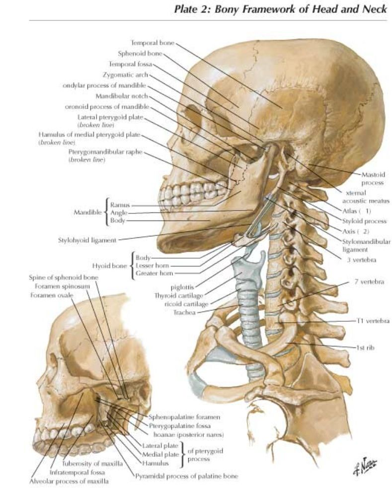 Cervical neck anatomy