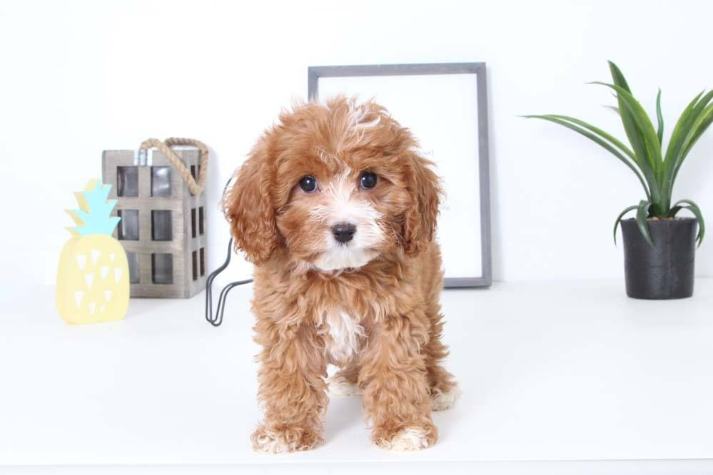 Puppies for Sale in Florida and Nationwide Cavapoo
