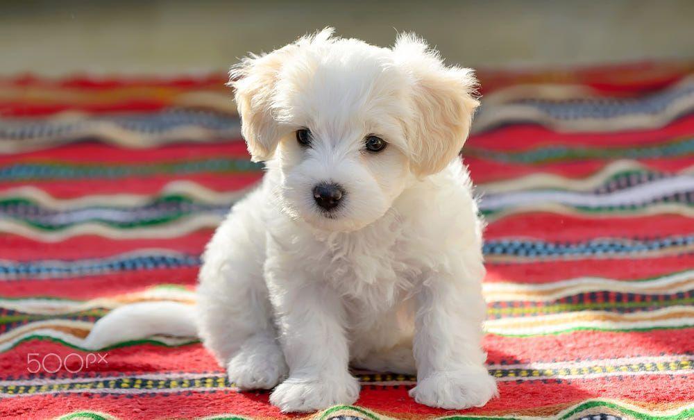 White Puppy Maltese Dog Sitting On Carpet By Iordache Laurențiu