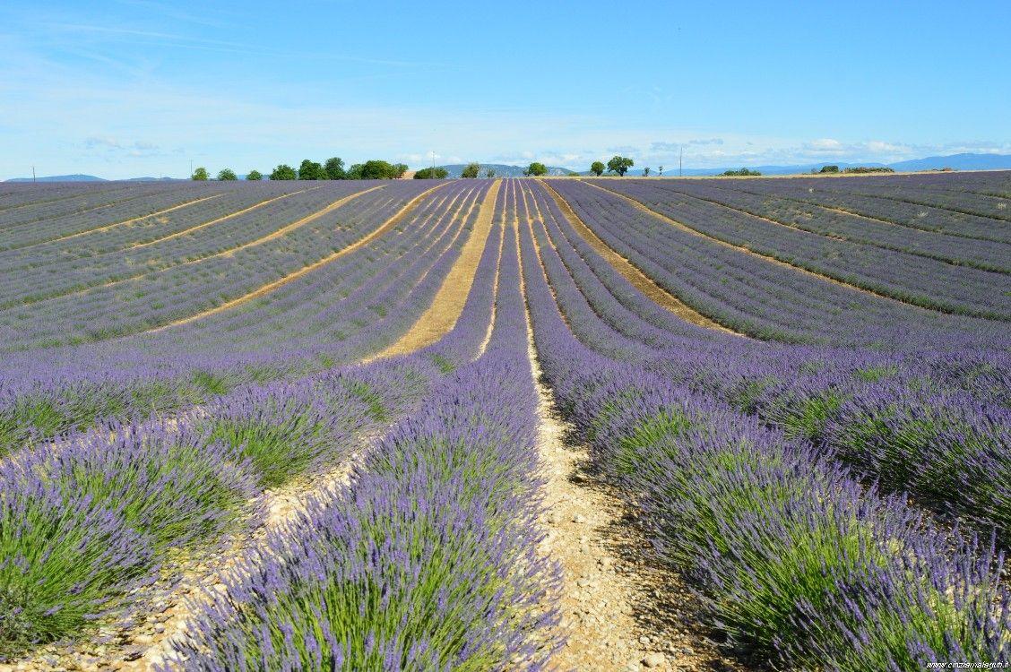 Francia, Provenza, campi di lavanda