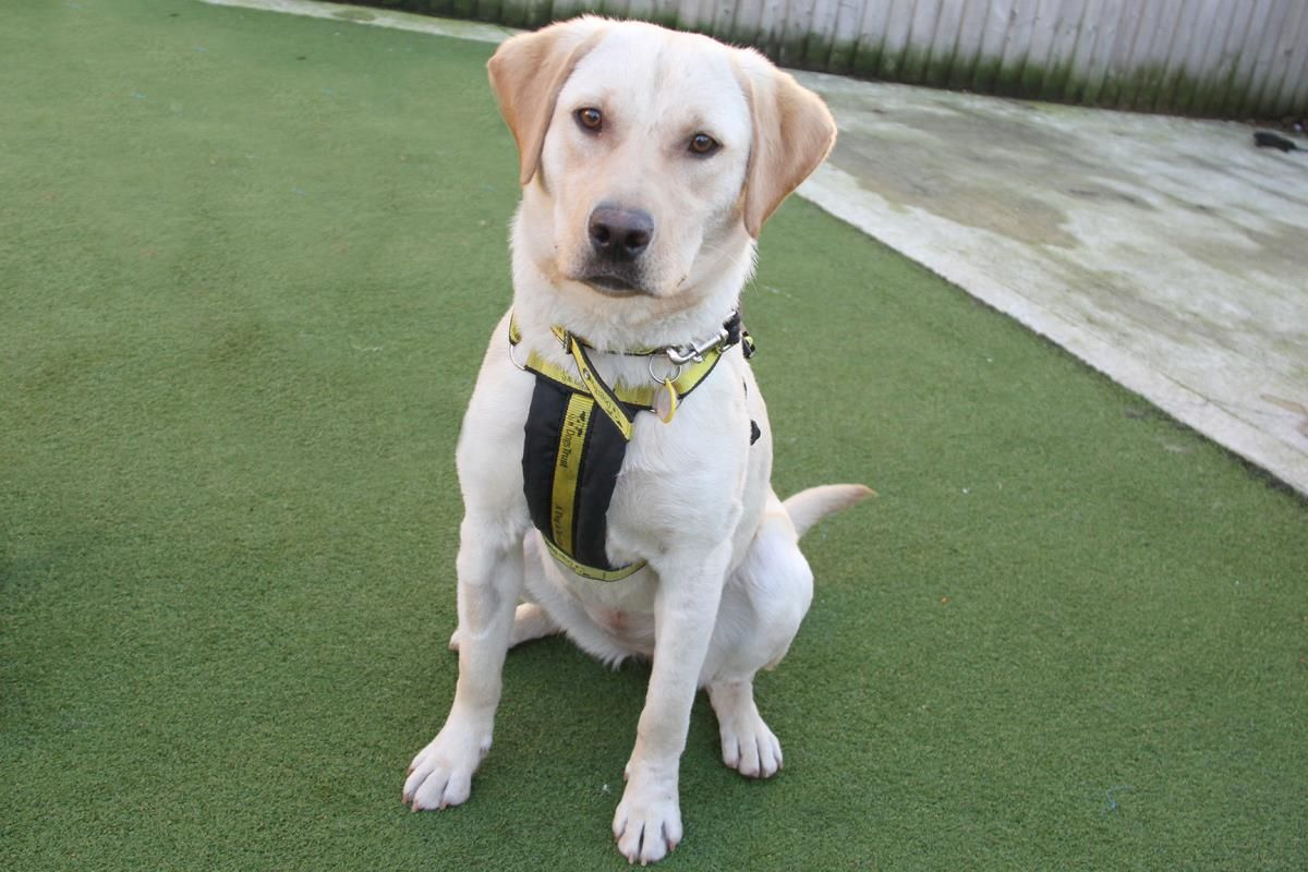 Adopt A Dog Dolly Labrador Dogs Trust Dogs Dog Adoption