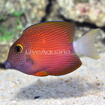 Drs Foster And Smith Diver S Den Ctenochaetus Flavicauda Foster And Smith Fish Pet Pets