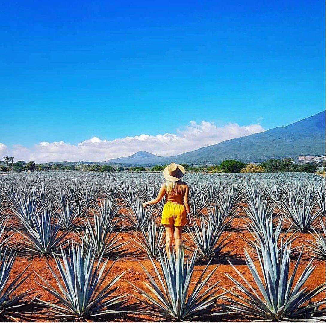 Una de las características que resaltan de Tequila es su paisaje de agave azul.