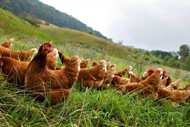 Food Inc Chicken Farm Imagenesmi