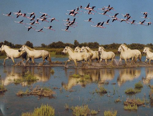 Flamants roses et chevaux de camargue voyages - Flamant rose camargue ...