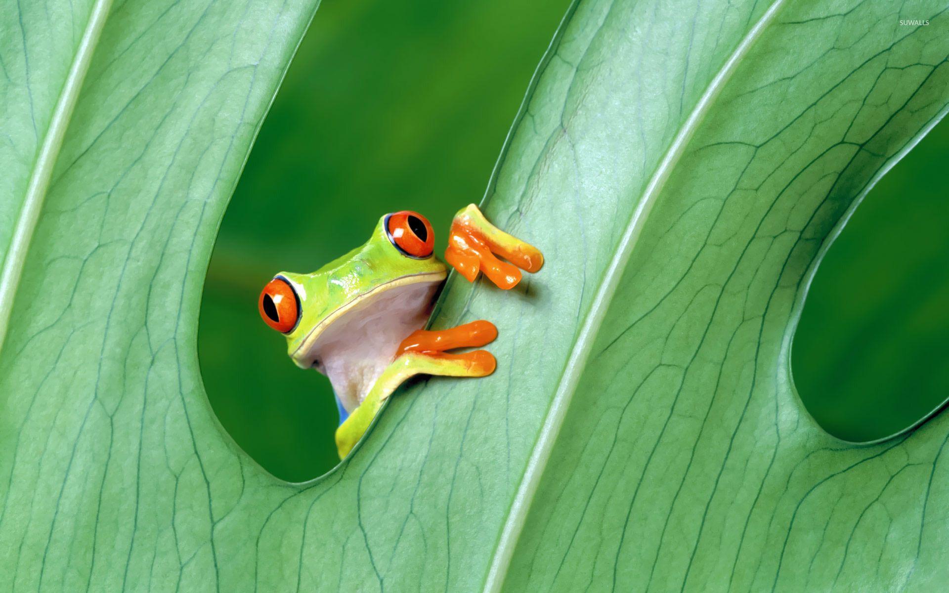 Red Eyed Tree Frog Wallpaper Animal Wallpapers 19866 Frog Wallpaper Red Eyed Tree Frog Tree Frogs