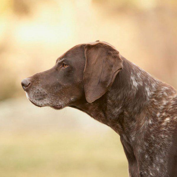 The 14 Best Active Dog Breeds | German srthaired pointer, Grouse ...