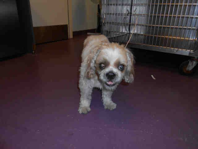 Shih Tzu Dog For Adoption In Long Beach Ca Adn 650915 On