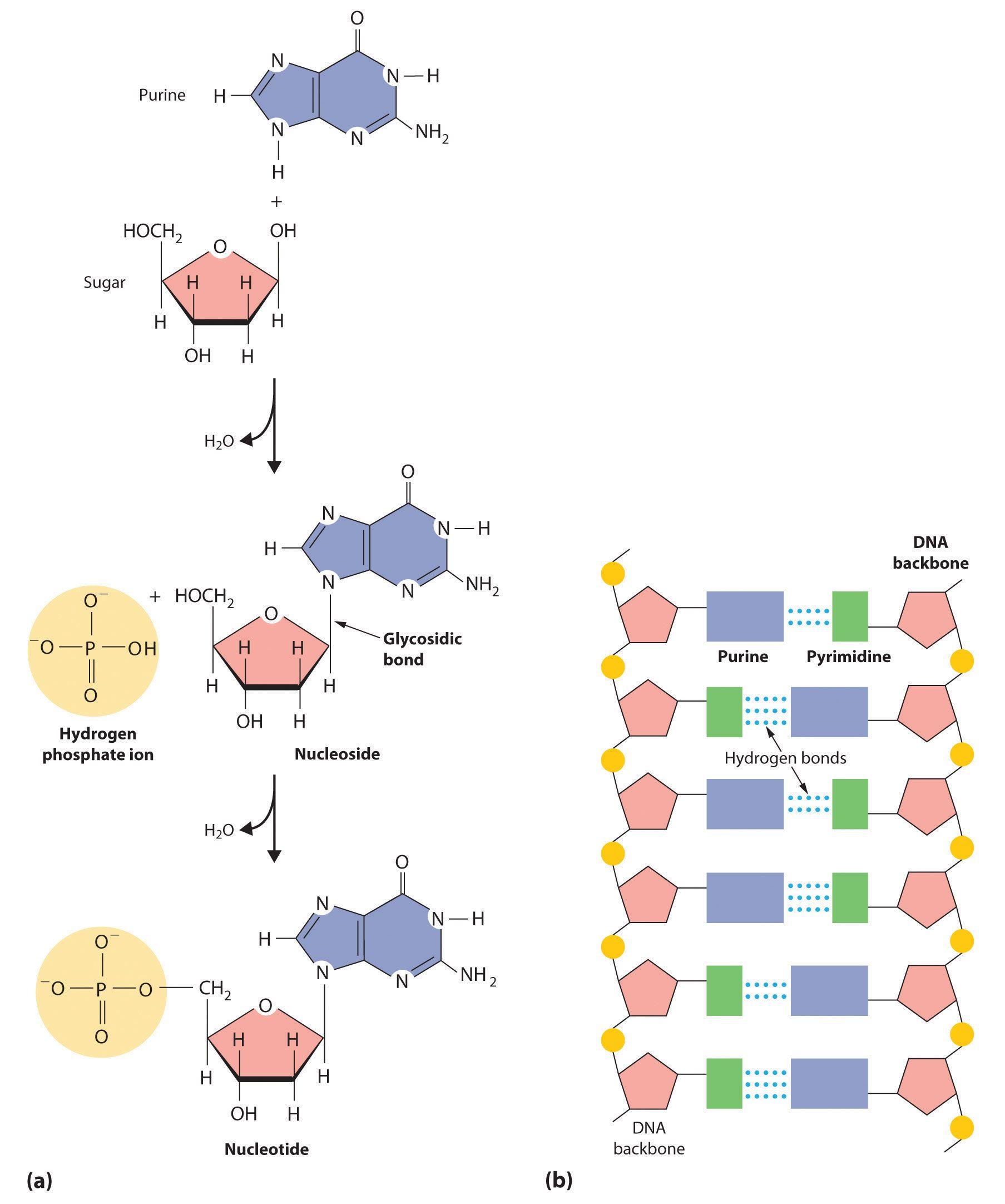 worksheet Molecules Of Life Worksheet the molecules of life awesome diagrams macromolecules macromolecules