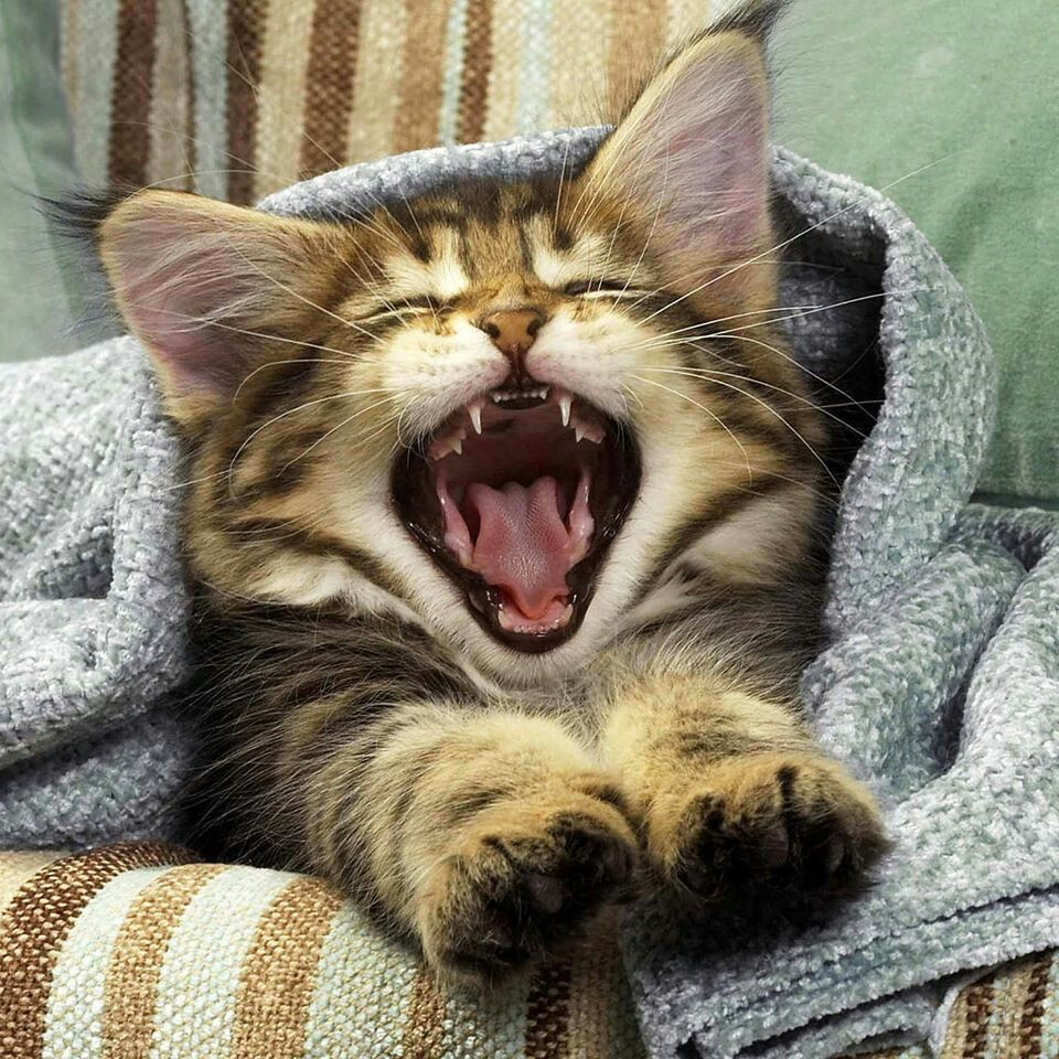 I want it *^* Tabby cat, Cat yawning, Kittens