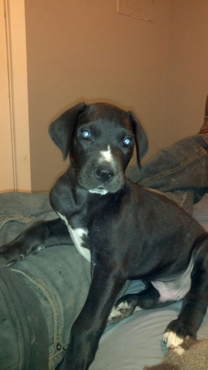 6 Week Old Black Great Dane Puppy With Images Dane Puppies