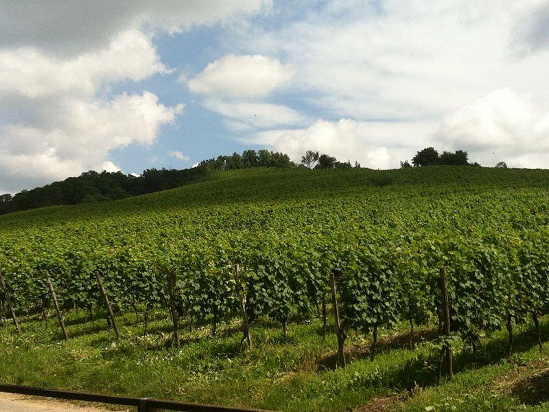 Weinreben auf dem Kirchberg (Foto: Stadt Bensheim) #Bensheim