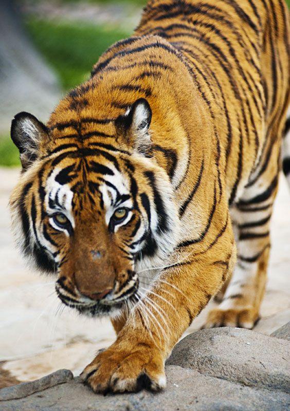 Natasha is such a beautiful tiger.