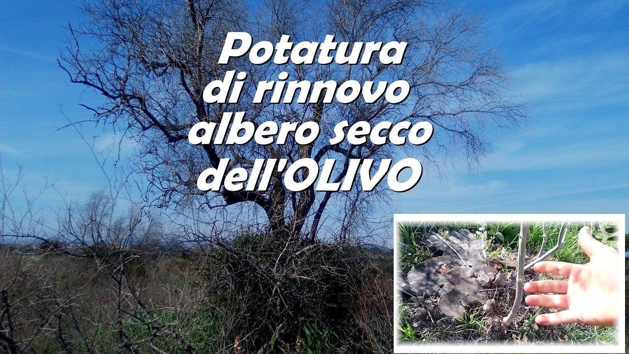 Calendario Trattamenti Olivo Biologico.Potatura Rinnovo Albero Secco Olivo Potare Alberi Da