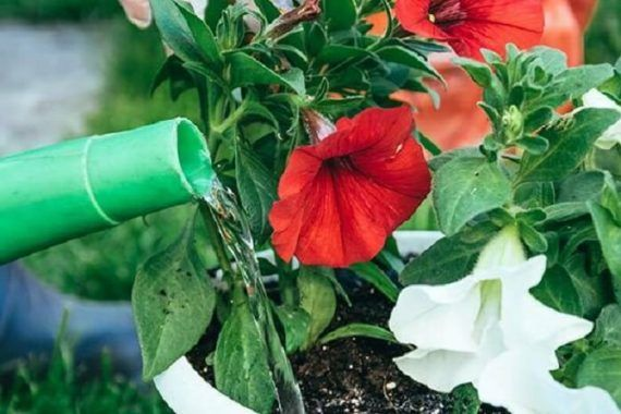 Petúnia: Meaning, Types, How to Grow +65 Photos - Gardening