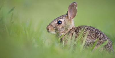 تفسير رؤية الأرنب في المنام لابن سيرين والنابلسي Animals Rabbit Wallpaper Free Rabbits