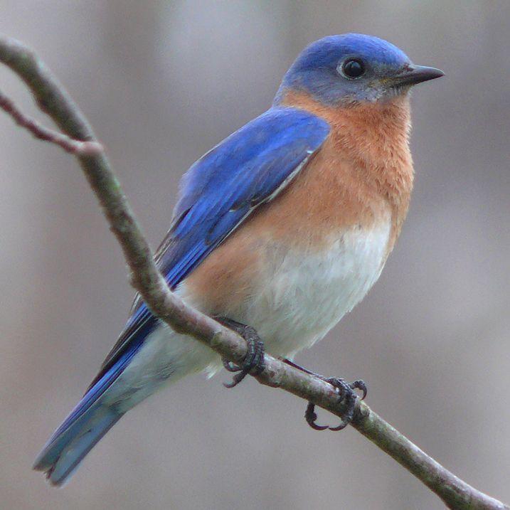 "Bluebird: State Bird (Photo >>) The bluebird was adopted as the State bird in 19... - >) The bluebird was adopted as the State bird in 19…""> Bluebird: State Bird (Photo >>) The blueb - #adopted #Bird #Bluebird #Photo #State #wildbirds #wildbirdsnames #wildbirdsunlimited #wildsbirds"