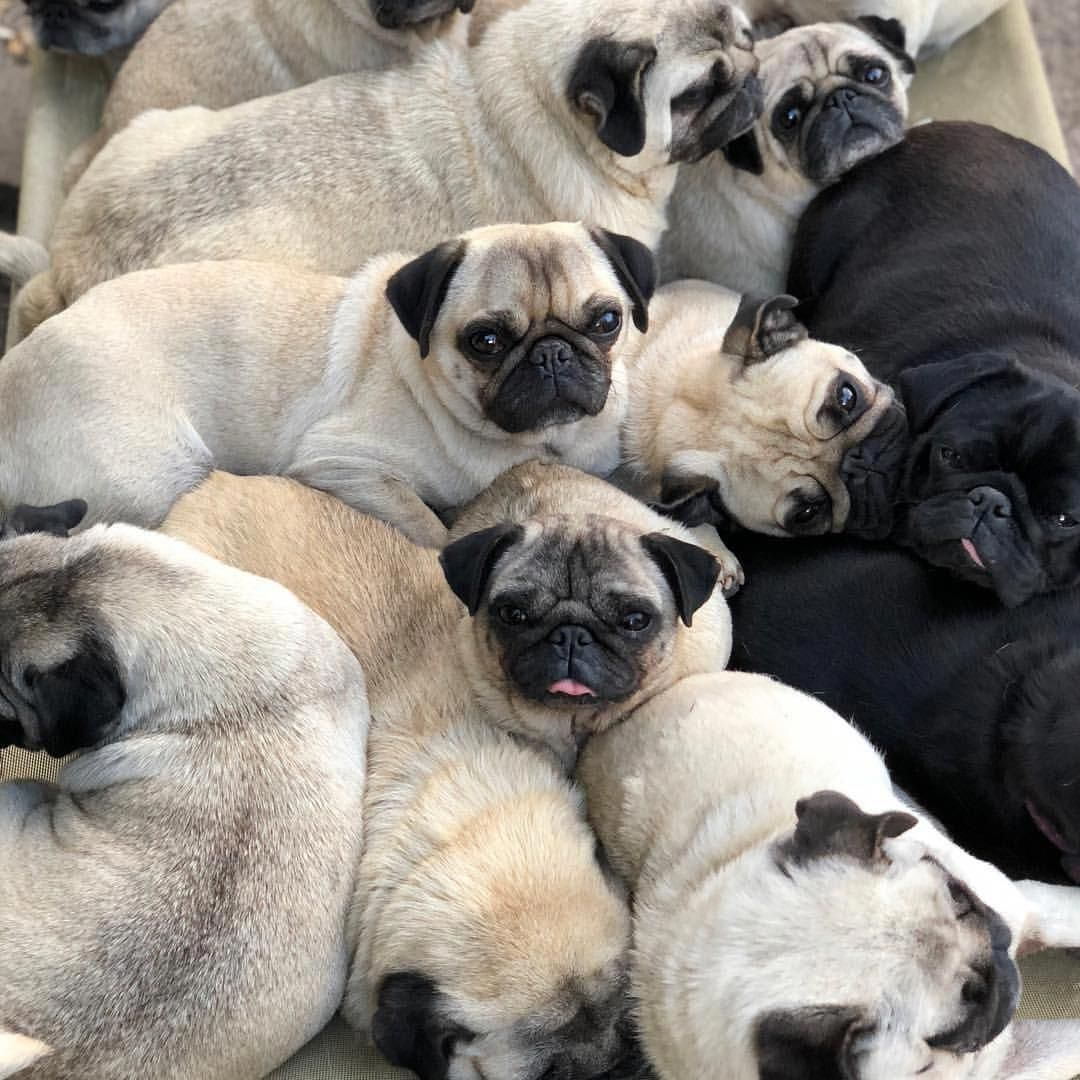 I D Love This As Wallpaper Pugs Pugs Everywhere Pug Pugs