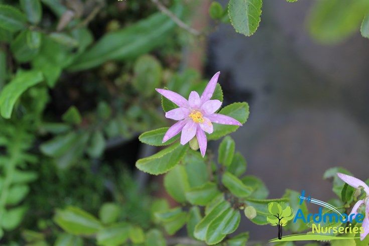 Grewia Occidentalis Mauve Star Lavender Star Flower A Shrub With Mid Green Oval Leaves With Mauve Pink Water Lily Type Flo Plant Nursery Star Flower Plants