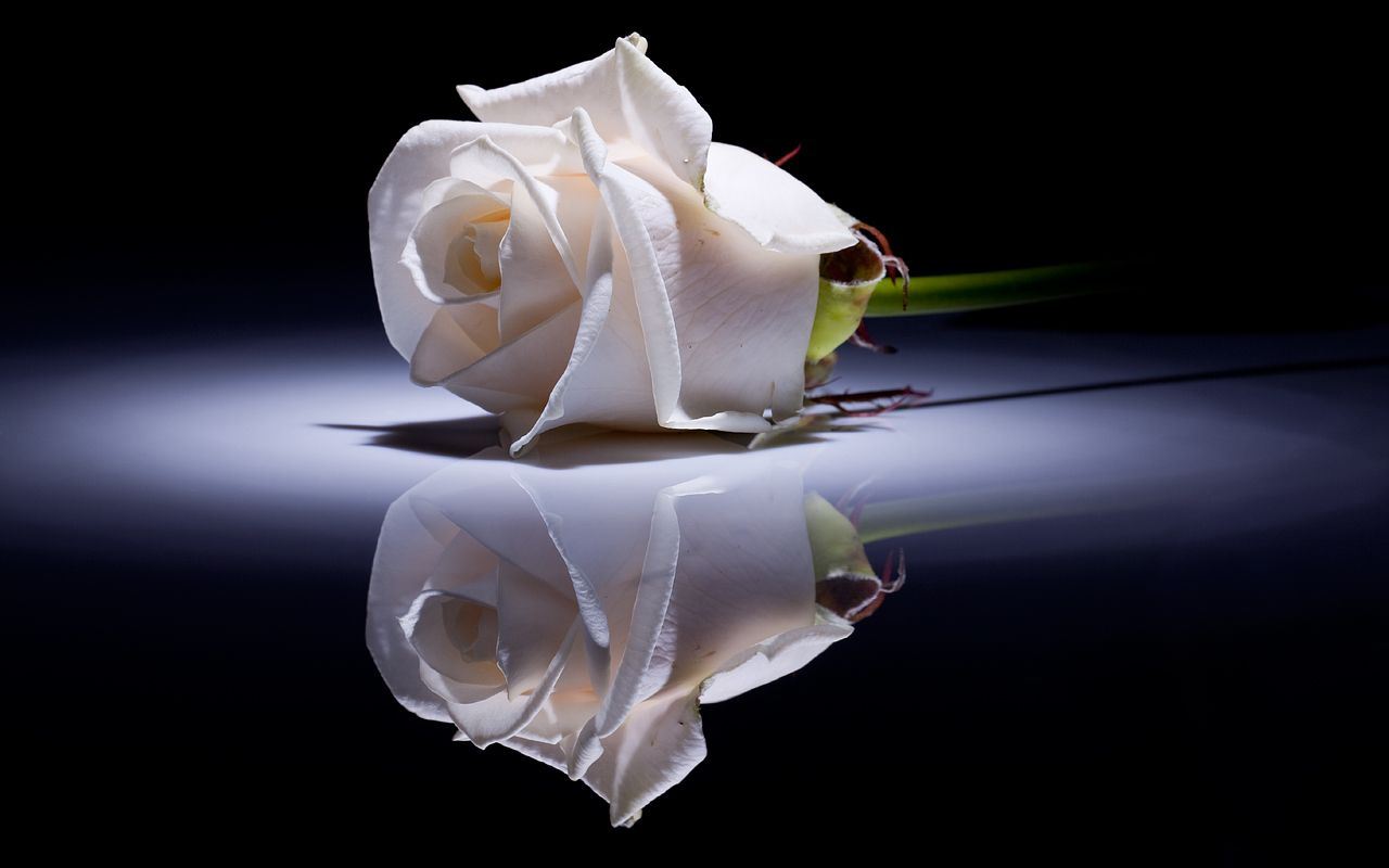 White Rose Hd Desktop Wallpaper Widescreen Good Night Baby Good Night Flowers Rose Wallpaper
