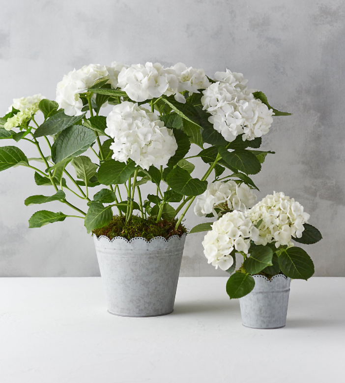 Hydrangea Plant in Scalloped Pot