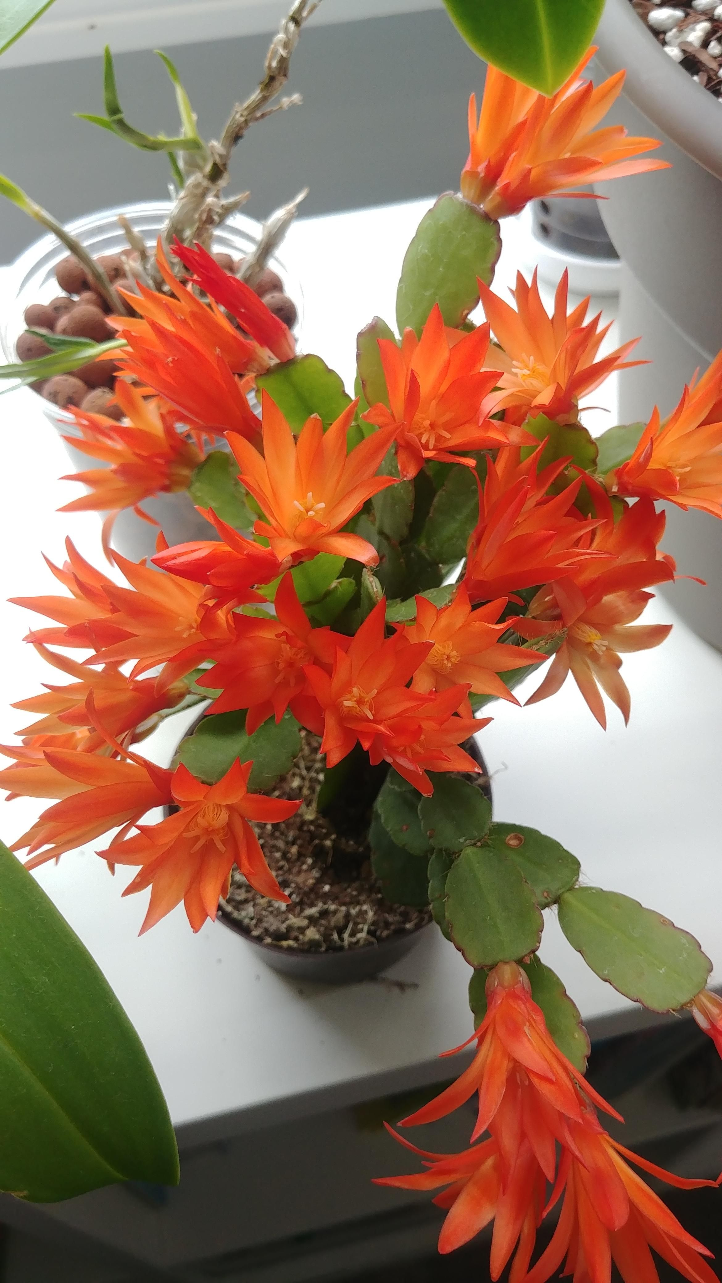 I Ve Been Looking For An Orange Blooming Easter Cactus For A While