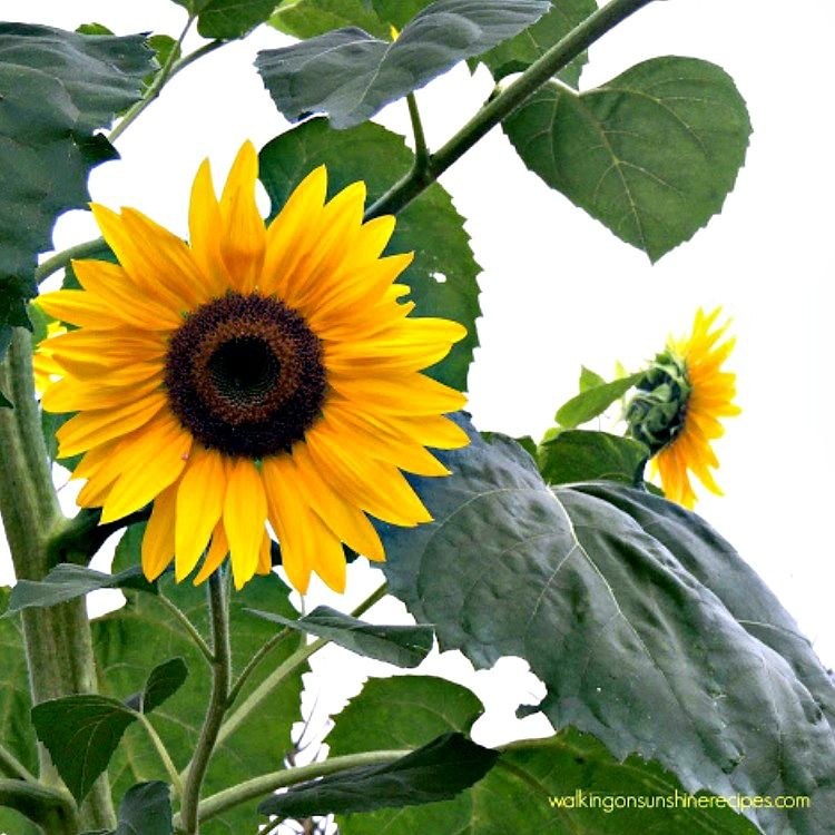 5 Tips on How to Grow Sunflowers in your Garden is part of Planting sunflowers, Sunflower garden, Growing sunflowers, Garden, Pollinator garden, Sunflower - 5 Tips on How to Grow Sunflowers that have worked for our garden year after year  Sunflowers are not hard to grow at all and add so much to any garden!