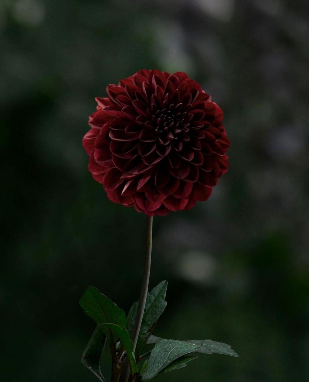 Dahlia Dark Spirit Is A Dark Red Almost Black Coloured Dahlia Admirable And Striking In The Flower Beds And Beautifu Dark Flowers Dark Spirit Black Flowers