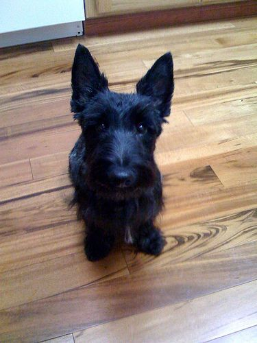 Cairn Terrier Scottish Terrier Mix Wire Fox Terrier Fox Terrier