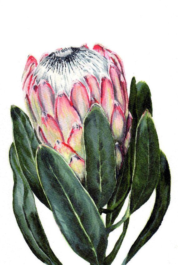 Watercolor Protea Flower Painting Print South African Indigenous Fynbos Protea Art Flower Painting Botanical Art